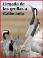 Llegada de grullas a la laguna de Gallocanta (2009)
