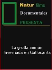 La grulla común. Invernada en Gallocanta. 1º parte (2000/2001)